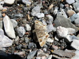 Arizona Powdered-Skipper (Systasea zampa