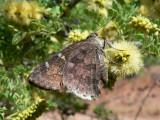 Acacia Skipper (Cogia hippalus hippalus)