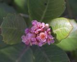 Lemonadeberry (Rhus integrifolia)