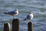 Obligitory Gulls on Pilings Shot
