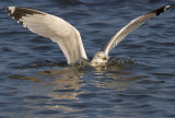 Sinking Gull