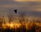 se-owl-at-sundown.jpg