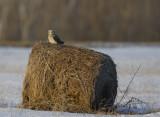 se-owl-on-hay-roll.jpg