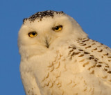 Snowy Owl at the Horicon Marsh