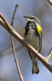 Yellow-rumped 2
