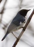 Black-throated Blue