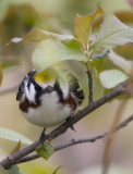 Chestnut-sided 2