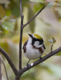 Chestnut-sided