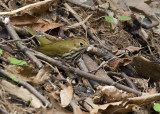 Ovenbird with a meal