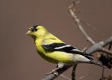 Goldfinch1