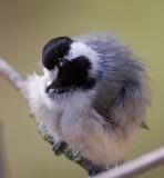 fluffy chickadee