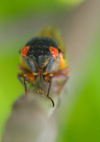 17 Year Cicadas - Lake Geneva Wisconsin