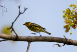 Walking Cape May Warbler