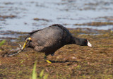 Coot running after the Moorhen