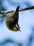 Red-breasted Nuthatch2.jpg