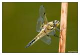 Vierfleck (Libellula  quadrimaculata) 1