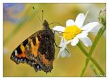 Schmetterling beim Zwischensnack