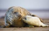 Atlantic Grey Seal and Pup