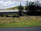 lookin' sheepish ;-)