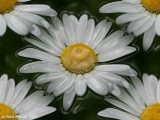 Shrink wrapped daisies