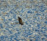 Horthern Harrier