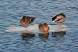 FloatingDucks