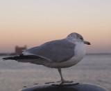 Boston Harbor Gull