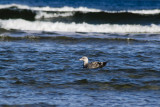 Gull Floating in the Ocean