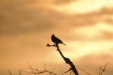 Red-wing Blackbird Silhouette