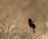 Red-wing Blackbird Singing