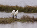 Pair of Great Egrets