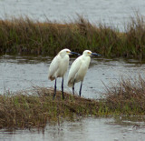 Pair of Great Egrets (Cropped)