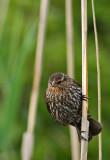 Female Red-winged Blackbird
