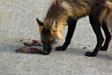 He found some roadkill
