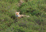Half blind fox?