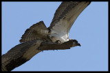 An Osprey and it's Stick