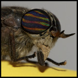 Horsefly Visitor II