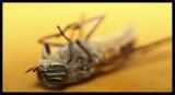 Horsefly RIP