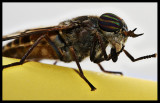 Horsefly Visitor