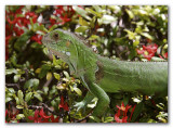 Iguana in the Bush