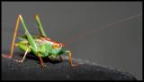 Katydid/Grasshopper