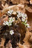 Round-lobed Hepatica (Hepatica nobilis)