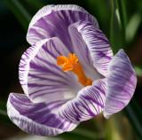 Saffron anyone?