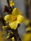 Forsythia Flower