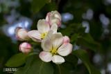 may 02 2013 Apple blossum