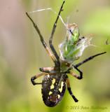 Garden Spider Wraps Grasshopper