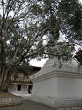 Ficus religiosa - Bo Tree