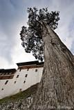 Giant Cypress beside Trongsa Dzong