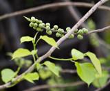 Ficus religiosa Fruiting