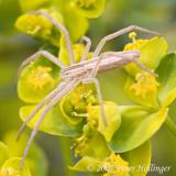 Slim Spider on Spurge